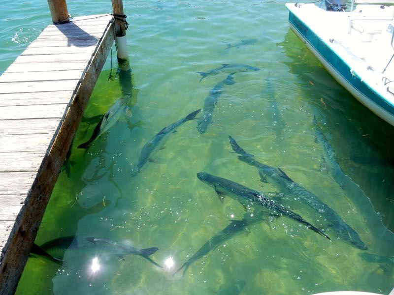 Florida The Keys Tarpon